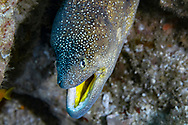 Yellowmouth moray-Murène à bouche jaune (Gymnothorax nudivomer), indian ocean, South Africa.