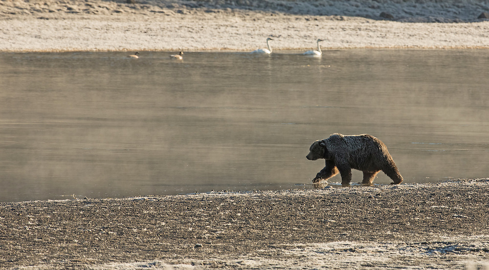 Master of his domain, Scarface travels through his large home range in Yellowstone National Park.