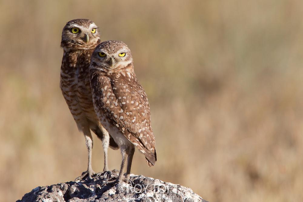 Burrowing Owl (Athene cunicularia), Piaui, Brazil