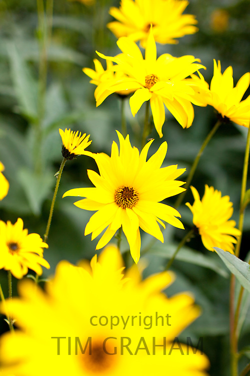 Rudbeckia flower, Asteraceae, also known as Coneflower, in country garden at Swinbrook in The Cotswolds, Oxfordshire, UK