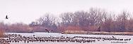 Sandhill cranes on the Platte River near Kearney, Nebraska, USA