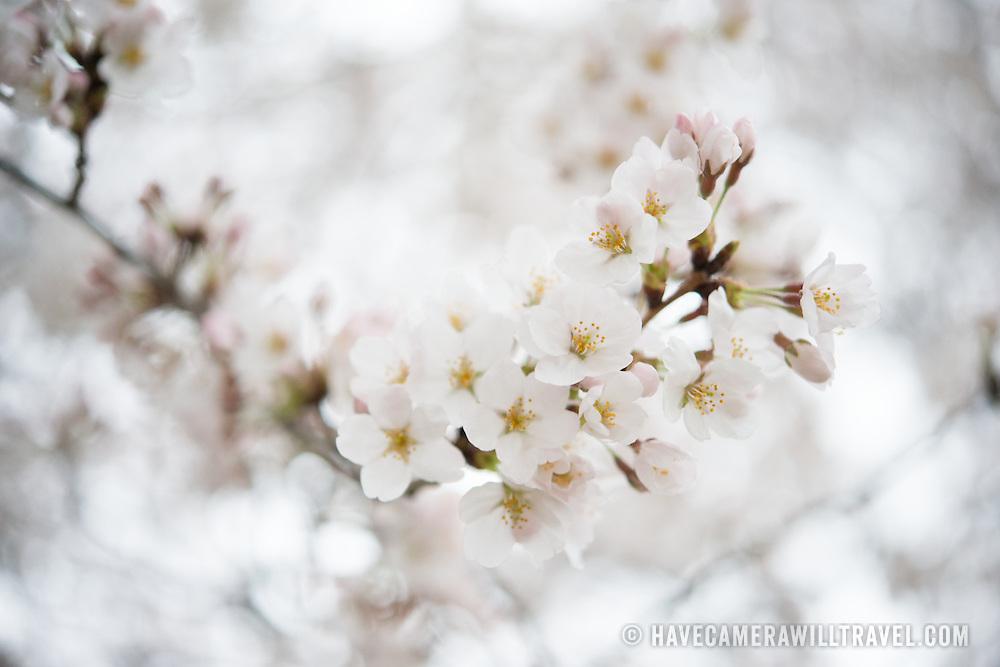 #cherryblossoms #cherryblossomsDC