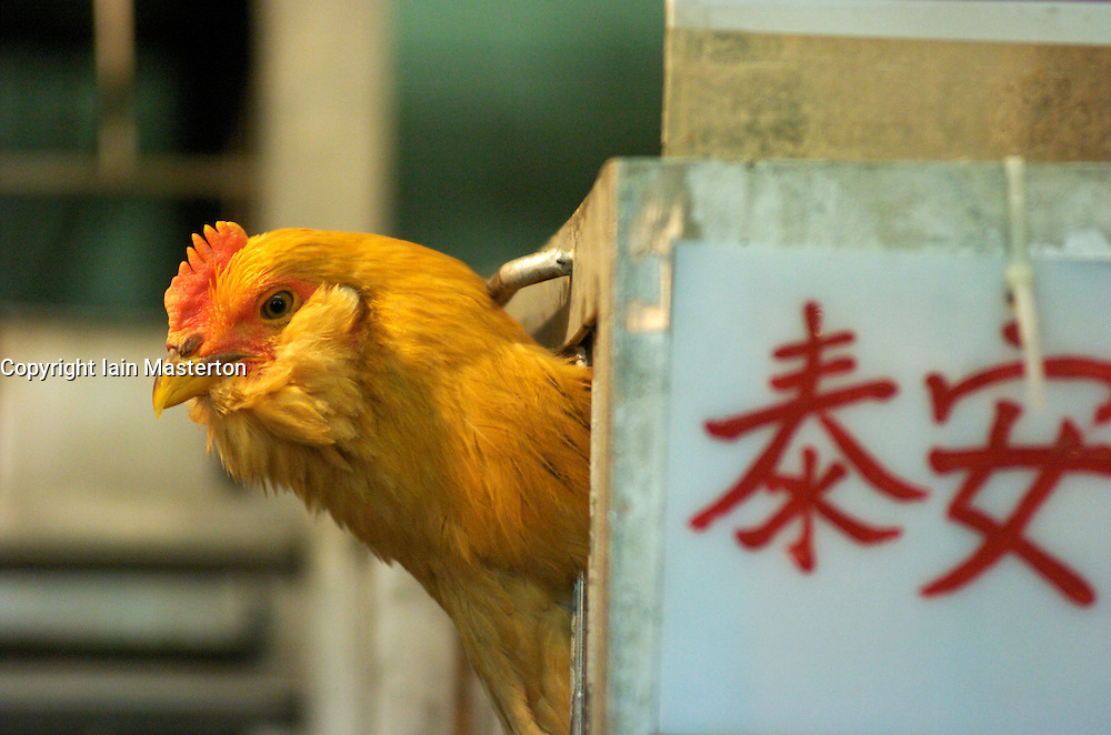 Detail of chicken in cage in a poultry market in Hong Kong during the Bird Flu epidemic