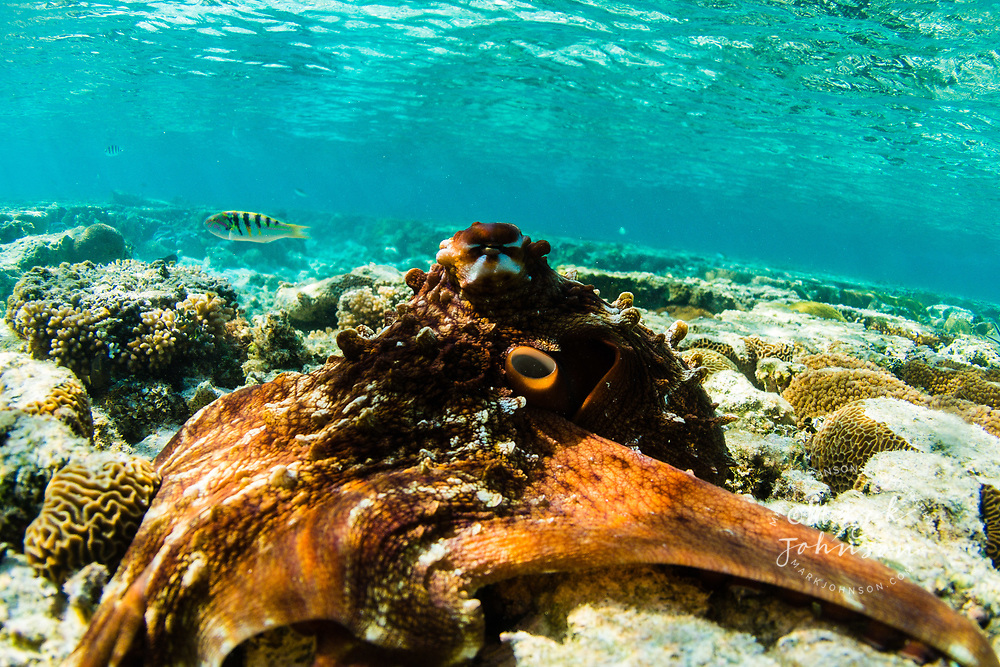Octopus on a coral reef, Lady Elliot Island, Great Barrier Reef, Queensland, Australia