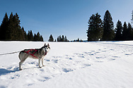 Husky sledding with Jura Chiens. Les Fourgs, near the Swiss border, Jura, France © Rudolf Abraham