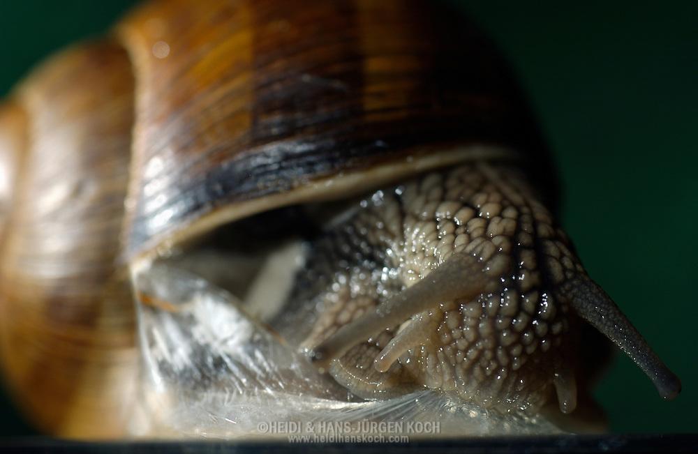Deutschland, DEU, 2002: Eine Weinbergschnecke (Helix pomatia) frisst nach Beendigung ihrer Trockenstarre die Schleimschicht. Schnecken verschliessen ihre Schneckenhaeuser mit einer duennen Schleimschicht, die bei Kontakt mit der Luft sofort trocknet. So schuetzen sie sich vor dem austrocknen. Auf diese Weise kann eine Schnecke mehrere Wochen ohne Nahrungsaufnahme ueberstehen. Wenn sie ihre Trockenstarre beenden, durchbrechen sie die Schleimschicht und holen sich ihre erste Energie durch das Fressen des Schleims. | Germany, DEU, 2002: Edible snail (Helix pomatia) eating it's slime layer after the dry rest. Snails close their snail-shells with a thin slime layer as a protection against drying out. That way they can outlast some weeks without eating. After the dry rest they break through the dried slime layer and get their first energy from eating it. |