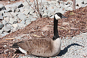 This Canada Goose is determined to hold his ground on a narrow foot path at the Bay Beach Wildlife Sanctuary at Green Bay, Wisconsin.