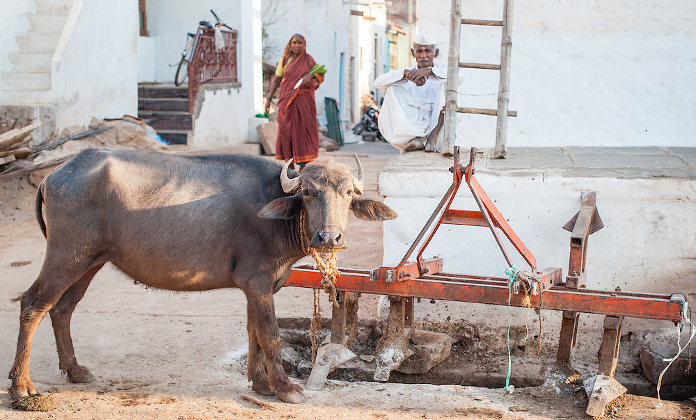Buffalo in the streets of Indian village (India)