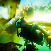 A female freediver swimming in the kelp forest off of La Jolla, San Diego, CA. water, Trevor Clark Photography, Clarkbourne Creative, Laurel Winterbourne, www.clarkbourne.com