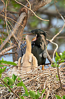 Anhinga Anhinga anhinga chick being fed by male parent Wakodahatchee Wetlands Delray Beach Florida USA