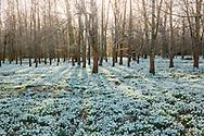 Carpet of Galanthus nivalis naturalised through woodland