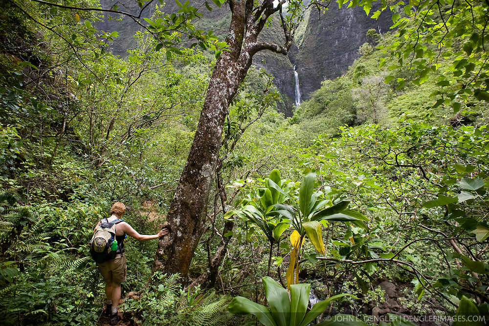 A hiker makes her way through the forest of Hanakapiai Valley to Hanakapiai Falls in the Na Pali Coast State Wilderness Park. The 120 foot falls are reached by way of a two mile primitive side trail off the Kalalau Trail which runs along the Na Pali coast on the northern shore of the island of Kauai in Hawaii. From the trailhead at Kee Beach in Haena State Park, the strenuous hike to Hanakapiai falls is eight miles roundtrip.
