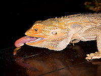 Close-up Of Bearded Dragon Eating,  Courtenay,  Comox Valley,  British Columbia,  Canada,  (Photographer;  Isobel Springett),