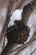 snow on Black Knot Fungus scar on Cherry tree trunk
