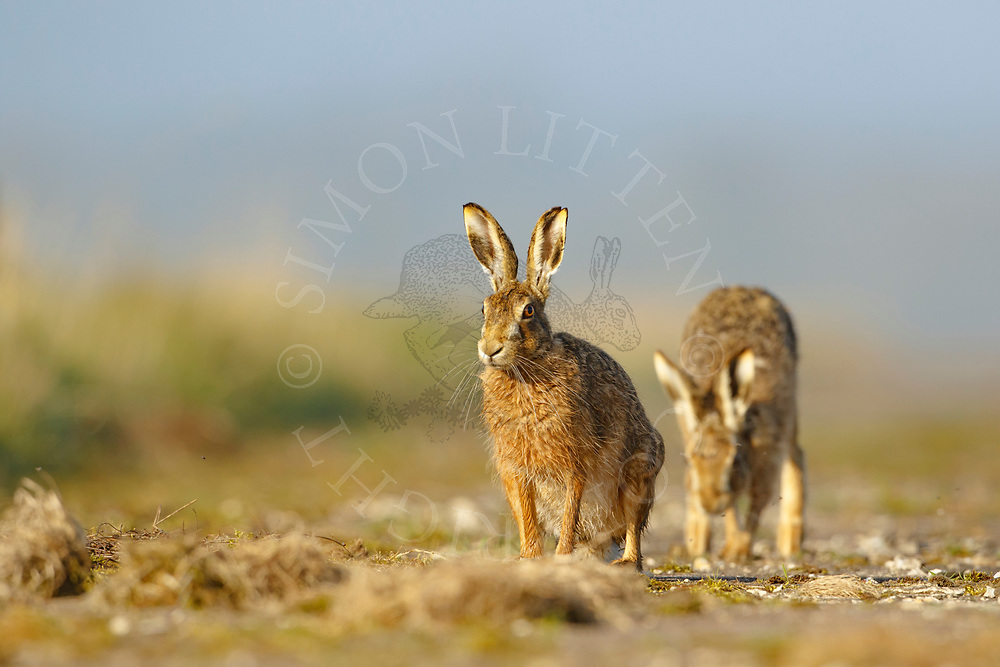 European Hare (Lepus europaeus) adult pair on farm track, South Norfolk, UK. April.