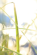 Grasses growing in front of in a glittering lake.