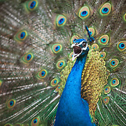 Peacock at Springton Manor Farms
