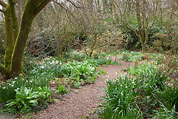 Leucojum aestivum, Narcissus 'Thalia', hellebores and colchicum foliage in the woodland garden at Glebe Cottage.