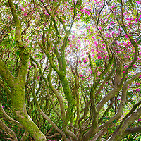 Wild Rhododendron in full bloom, Killarney Co. Kerry, Ireland
