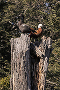 A pair of Paradise Shelduck perched on a rotting tree trunk, New Zealand