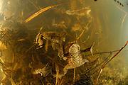 Common toad, European toad (Bufo bufo) | Die Erdkröte (Bufo bufo) ist die größte einheimische Krötenart. Das Weibchen, mit bis zu 13 cm Körperlänge größer als das Männchen, legt im März bis zu 6000 Eier in Gallertschnüren ab. Die Laichstränge verden an Wasserpflanzen verankert. Bald nach der Eiablage verlassen die erwachsenen Tiere das Gewässer und verbringen den Rest des Jahres an Land, wo sie recht weit von ihrem Teich entfernt nach Insekten, Würmern, Schnecke unjd anderen Beutetieren suchen.