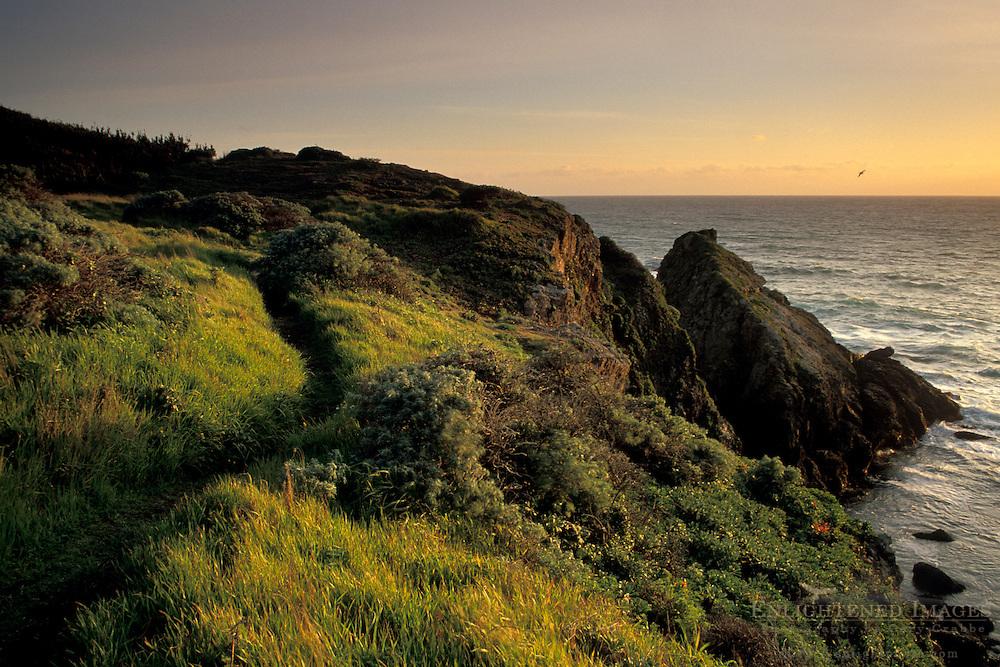 Coastal wildflowers at sunset on bluff above ocean, Stillwater Cove Regional Park, Sonoma Coast, California