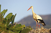 EN. White Stork (Ciconia ciconia) on nest which is on top of a prickly pear bush (Opuntia sp.). Andalucia, Spain. <br /> ES. Cig&uuml;e&ntilde;a blanca (Ciconia ciconia) en su nido sobre una chumbera (Opuntia sp.).  Andalucia, Espa&ntilde;a.