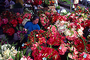 Anthuriums, Hilo Open Market, Hilo, Island of Hawaii (editorial use only, no model release)<br />