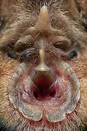 """Greater Horseshoe Bat (Rhinolophus ferrumequinum). Wingspan with up to 40 centimeters this bat is the largest European species of horseshoe bats. The species is listed in Germany as threatened by extinction. Its name comes from the special shape of their nose. The supreme nosepiece, the tip pointing upward between the eyes is called a lancet. The middle part of the nose that runs like a vertical bar is called a saddle. At the lower end of the saddle are the nostrils, which are funnel-shaped encircled by the horseshoe. The irregular edge of the horseshoe features this animal as a senior individual (life span 30 years), young animals have smooth margins. The special external anatomy of the nose is less the sense of smell rather than the forms of a """"sound cone"""". The horseshoe bat calls through the nose and molded it with their help a sonar beam in the ultrasonic range. Grosse Hufeisennase (Rhinolophus ferrumequinum). Mit einer Fluegelspannweite von bis zu 40 Zentimetern ist diese Fledermaus die groesste europaeische Hufeisennasenart. Die Art gilt in Deutschland als vom Aussterben bedroht. Ihren Namen verdankt diese Fledermaus der besonderen Ausformung ihrer Nase. Der oberste Nasenaufsatz, der Zipfel, der zwischen den Augen nach oben zeigt, wird als Lanzette bezeichnet. Den mittleren Teil der Nase, der wie eine senkrechte Leiste verlaeuft, bezeichnet man als Sattel.  Am unteren Ende des Sattels befinden sich die Nasenloecher, welche trichterfoermig vom Hufeisen umkreist sind. Der unregelmaessige Rand des Hufeisens kennzeichnet dieses Tier als aelteres Individuum (Lebensspanne ca. 30 Jahre); junge Tiere besitzen glatte Raender. Die spezielle aeussere Anatomie der Nase dient weniger dem Geruchssinn als vielmehr dem Formen einer """"Schallkeule"""". Die Hufeisennase ruft durch die Nase und formt dabei mit ihrer Hilfe einen Echolot-Strahl im Ultraschallbereich."""