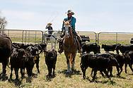 Cowboys, sorting calves, branding, Lazy SR Ranch, Wilsall, Montana, Jim Logan