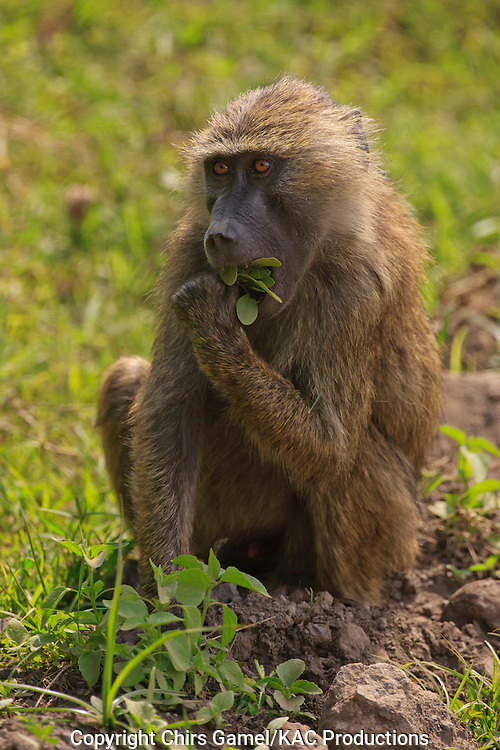 Olive baboon sitting up eating leaves.