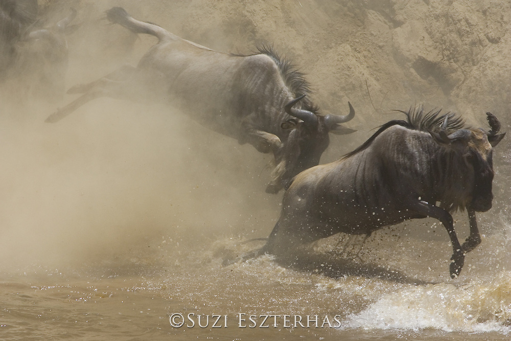 Wildebeest<br /> Connochaetes taurinus<br /> Maasai Mara Reserve, Kenya<br /> Leaping into the Mara River to cross