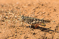 "The red-shanked grasshopper is a large member of the banded-winged grasshoppers found throughout most of the western United States Mexico, and north into the Canadian Prairies. It prefers open, arid grasslands and prairies where it feeds on a number of grasses and sedges. It is easily recognized by its bold pattern and red rear feet. When threatened, it will take a long ""jump"" as it flies to a nearby locations with a loud buzzing noise called crepitation. As it flies, it will reveal momentarily its beautiful yellow wings. This one was stalked/chased and photographed near the El Malpais National Monument in Cibola County, New Mexico."