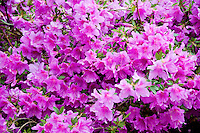 Ticino, Southern Switzerland. Luscious magenta rhododendrons.