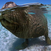 Australia sea lion sticking its nose out of the water to take a breath of air