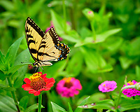 Tiger Swallowtail Butterfly on a Zinnia Flower. Image taken with a Fuji X-H1 camera and 80 mm f/2.8 macro lens + 1.4x teleconverter