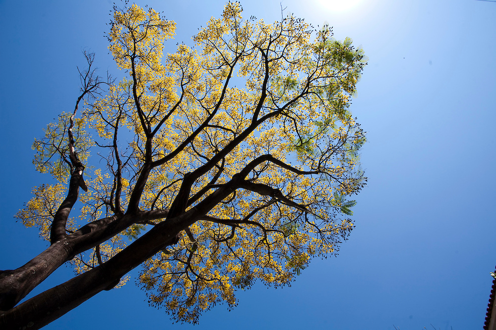 Belo Horizonte_MG, Brasil...Guapuruvu ( Schizolobium parahyba ), especie de arvore da Mata Atlantica, florida nas ruas do Bairro Anchieta...Guapuruvu flowering tree ( Schizolobium parahyba ), typical tree from Mata Atlantica, in the Anchieta neighborhood...Foto: JOAO MARCOS ROSA / NITRO