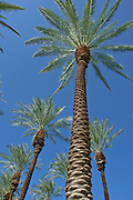 Palm Tree, California palm tree s, CA, Fan Palm, native, Arecaceae, Palmae, Palmaceae