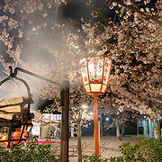 Maruyama Park in Kyoto is Japan's most popular spot for cherry blossom viewing parties. <br />