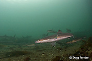 spiny dogfish, piked dogfish, spurdogs, or dog sharks, Squalus suckleyi (formerly Squalus acanthias ), Quadra Island off Vancouver Island, British Columbia, Canada, ( North Pacific Ocean )