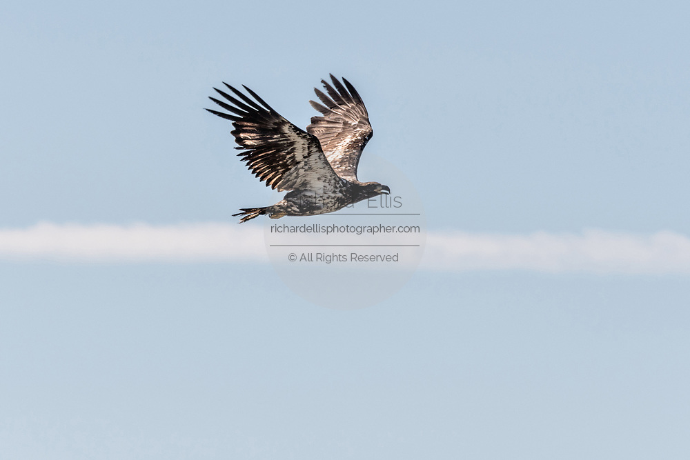 A juvenile bald eagle inflight along the beach on the Cook Inlet at Anchor Point, Alaska.