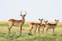 Bachelor herd of Red Lechwe, Chobe River, Kasane, Botswana.