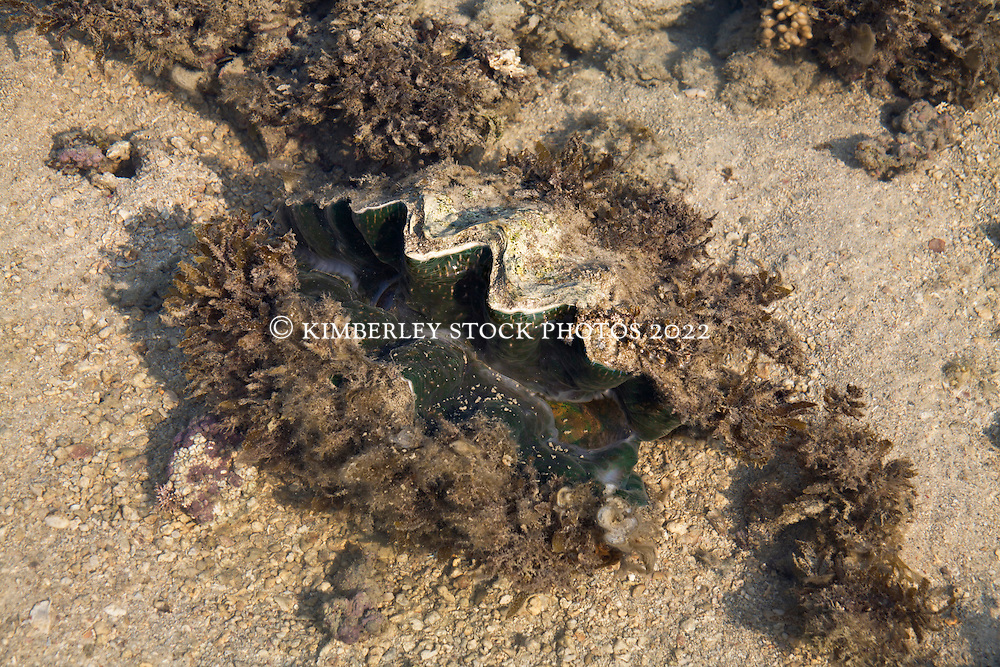 A giant fluted clam (Tridacna sp.) in shallow sandy lagoon at the northern end of Augustus Island.