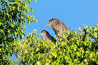 Two young Black-crowned Night Heron (Nycticorax nycticorax)  chicks perched in a tree, Jocotopec, Jalisco, Mexico