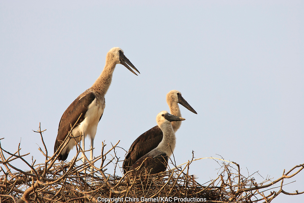 Three juvenile Saddlebilled Storks (Ephippiorhynchus senegalensis), in the nest, Tarangire National park, Tanzania, Africa; hatchlings