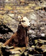 Bighorn Sheep Lamb in Glacier National Park in Montana