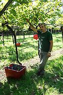 Agricoltura: raccolta dell'uva,ovvero la Vendemmia nel 2010 © foto Daniele Mosna