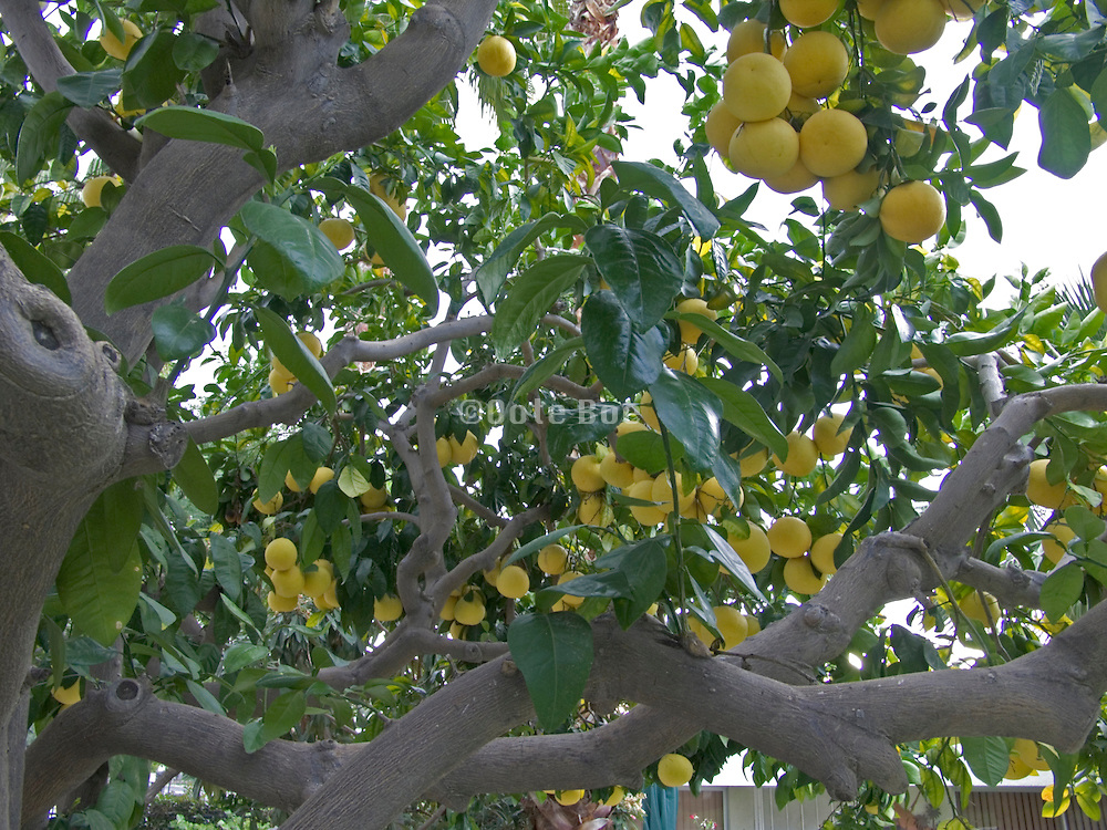 grapefruit tree hanging full with grapes
