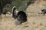 A male Gould's wild turkey, (M. g. mexican, and several females roam the grasslands in the foothills of the Santa Rita Mountains, Coronado National Forest, along Gardner Canyon Road, north of Sonoita, Arizona, USA.