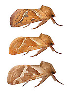 Orange Swift - Triodia sylvina<br /> 3.001 (15)